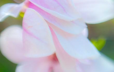 Softest Pink Magnolias