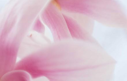 Soft Pink Magnolias