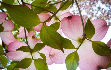 Pink Dogwood From Below