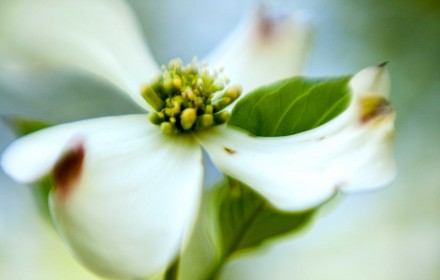 Soft White Dogwood
