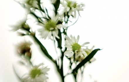 White Asters 1