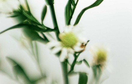 White Asters 3
