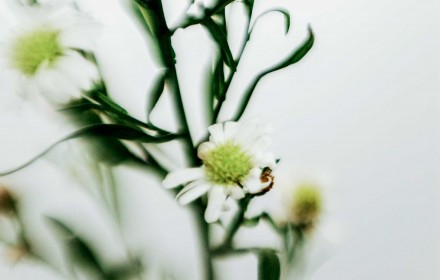 White Asters 2