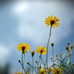 Yellow-Flowers-PPSyellweb