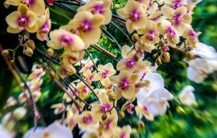Yellow and Purple Orchid 3