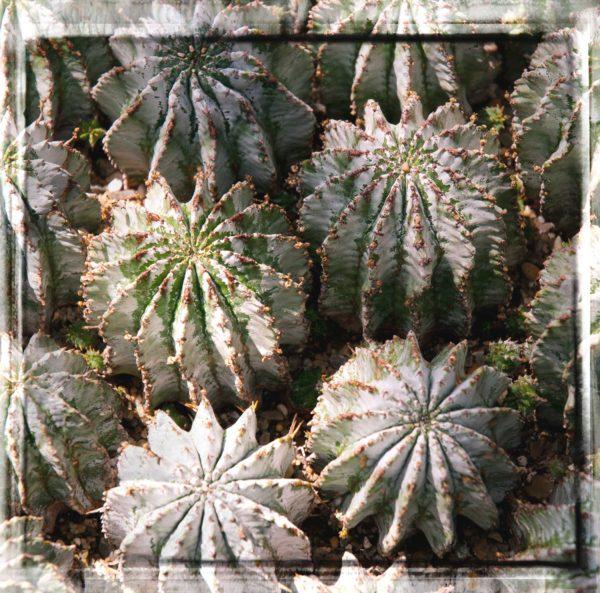 succulent7x7web