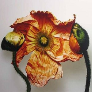 iceland-poppypapaver-nudicaule-new-york-2006-irving-penn-2