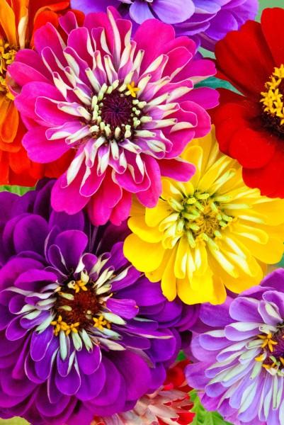 Multi-colored zinnia flowers