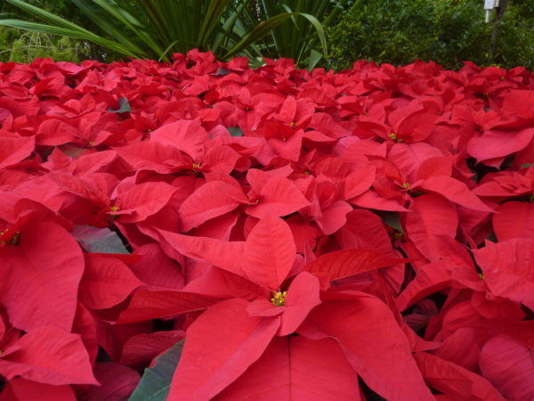 Poinsettias as far as the eye can see!