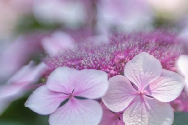 Pink Hydrangea Buds