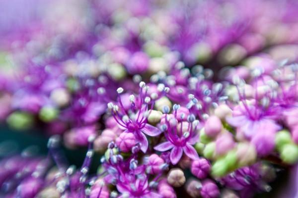 Purple Hydrangea Buds