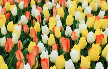 Whole Lotta Tulips