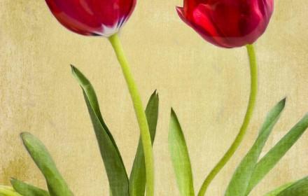 Tulip Mania!