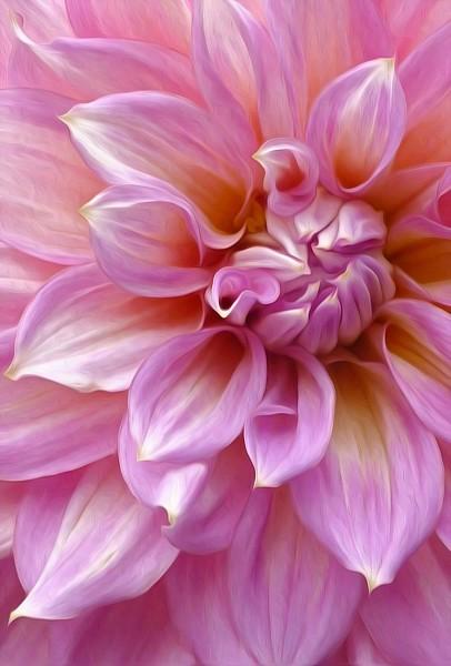 Pink Dahlia Macro