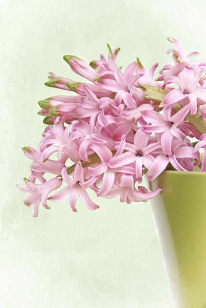 Pink Hyacinth 1