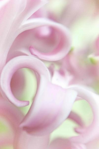 Pink Hyacinth 3