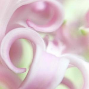 Pink Hyacinth Up Close