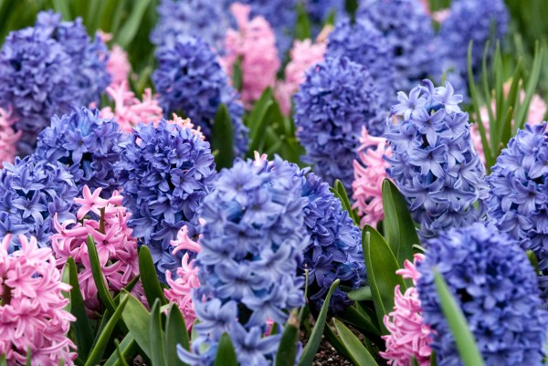 Spring Hyacinth 1