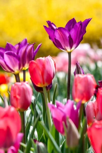 Spring Tulips at Longwood Gardens
