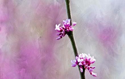 Purple Spring Blossoms 1