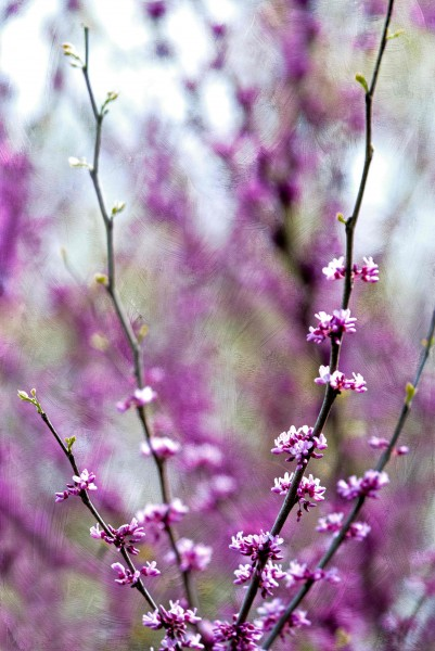 Pink Spring Blossoms 1