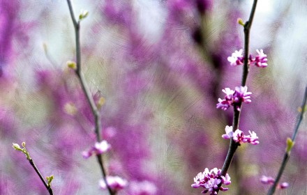 Purple Spring Blossoms 2