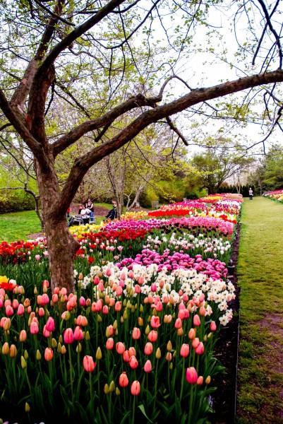 Longwood Tulip Garden