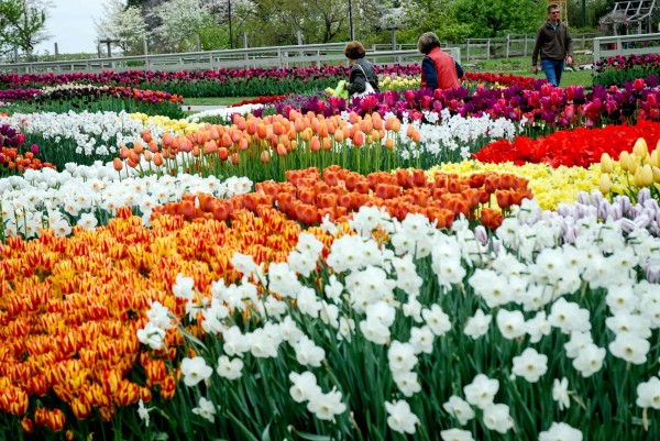 Tulips and Longwood Gardens 2014