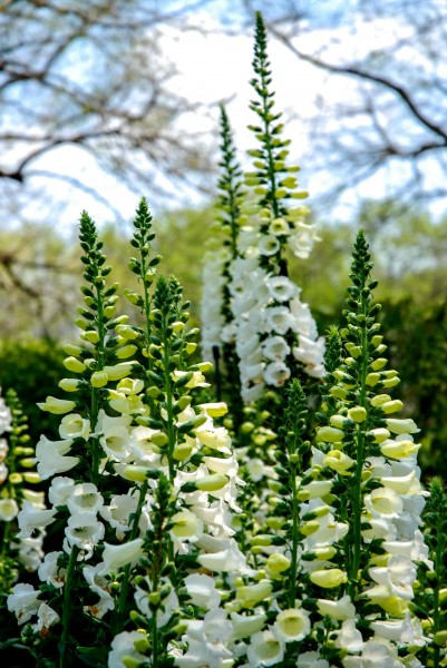 Foxwood Flowers at Longwood Gardens
