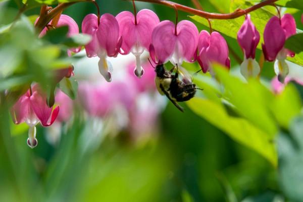 Bee Photobombs my bleeding heart shoot 3