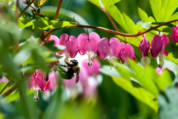 Bee photobombs bleeding heart shoot 2