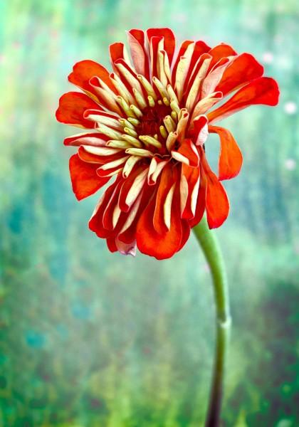 Vibrant Orange Zinnia