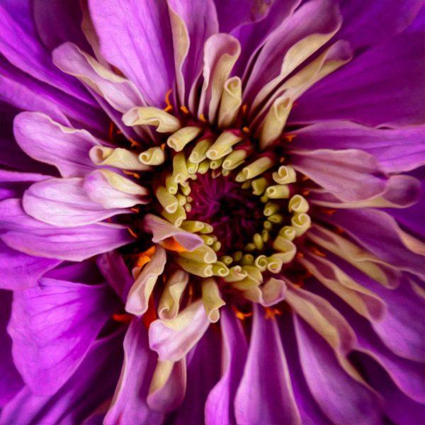 Purple Zinnia Flower