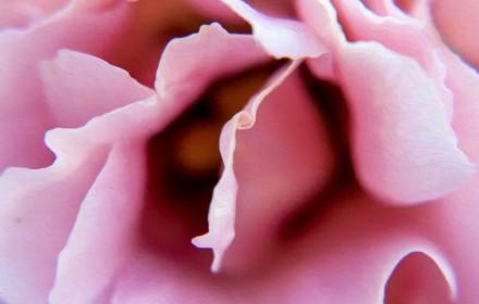 Pink Macro Lysianthus