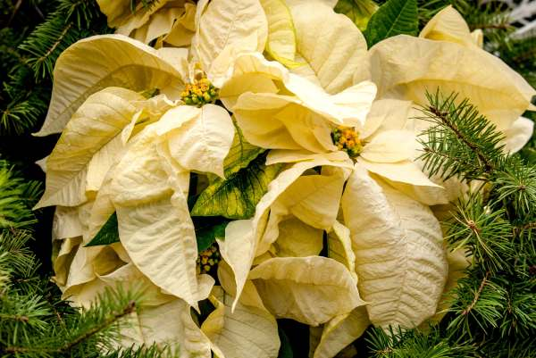 YellowPointsettia2web