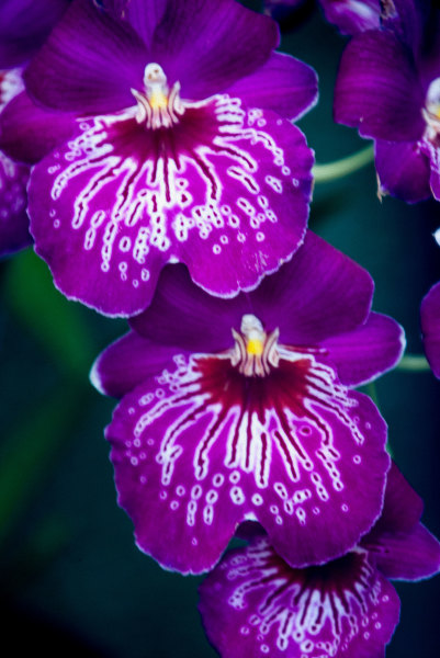 3PurpleOrchidsweb