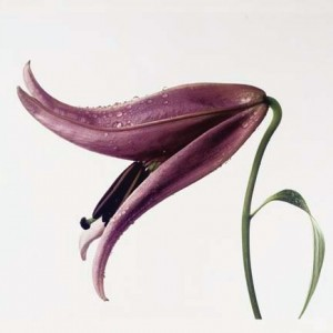 lily-imperial-pink-new-york-1971-irving-penn-2