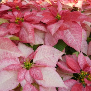 Monet Twilight Poinsettia