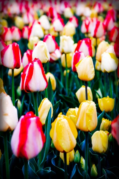 Yellow and Red/White Tulips