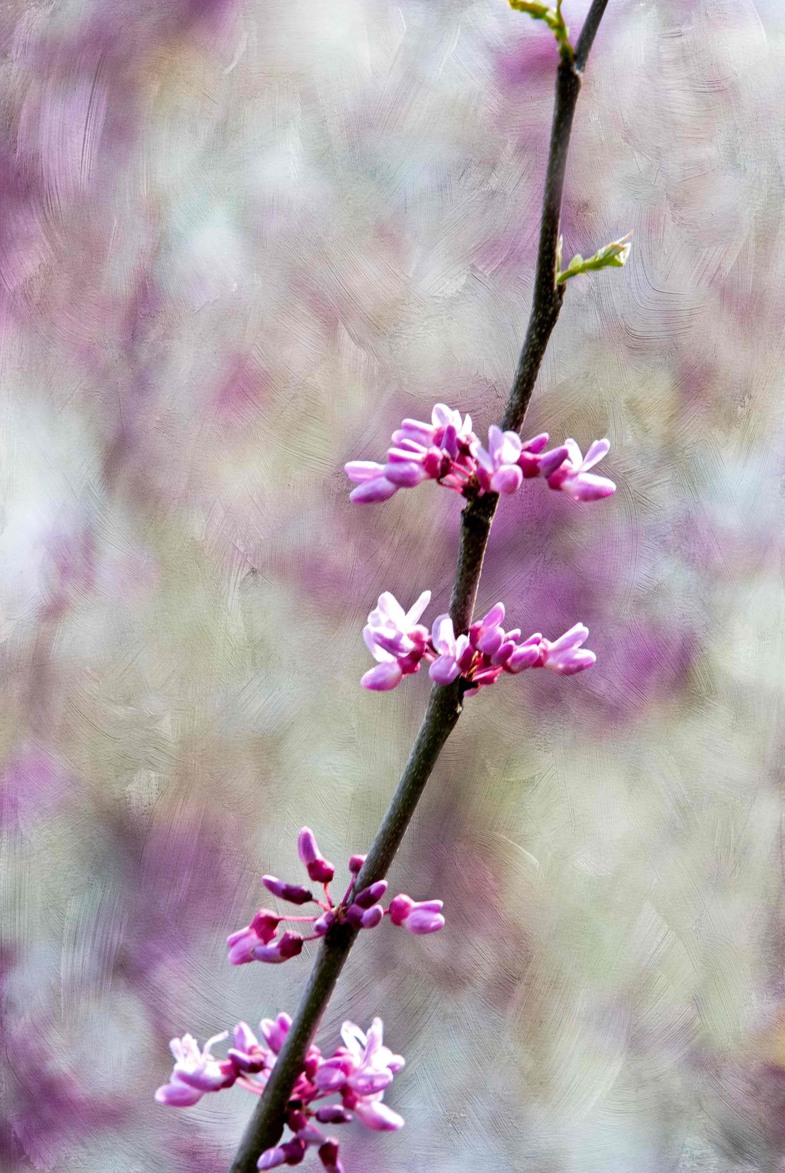 Purple Spring Blossoms 3