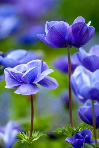 Blue Anomene Flower