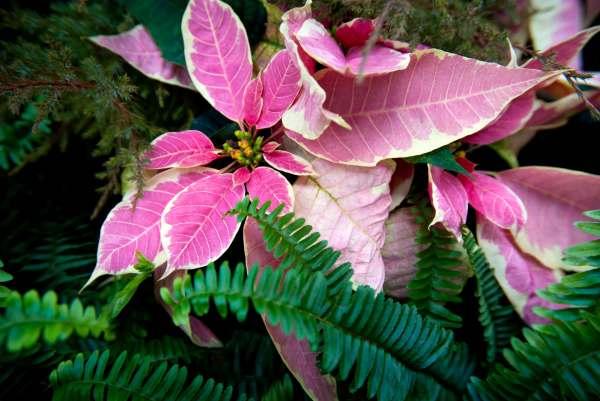 PinkPoitsettiaandFoliageweb