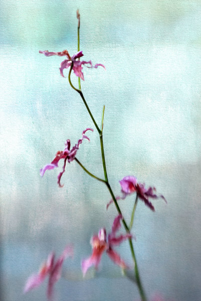 Wild Pink Orchid on a Blue Background