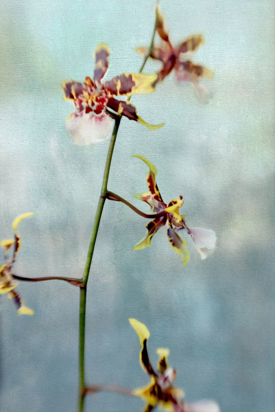 Yellow Orchid on Blue 3